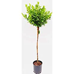 Kirschlorbeer-Stamm mit Krone, Höhe: 130-140 cm, Prunus l. 'Piri', immergrün und winterhart