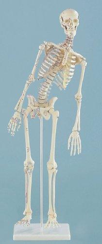 miniatura-scheletro-fred-mobile-con-marcatura-muscolare