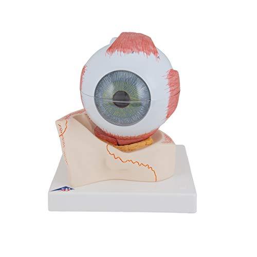 3B Scientific J13 Modelo de anatomía humana la Piel, Modelo En Bloque, 70 Veces Su Tamaño Natural - 3B Smart Anatomy