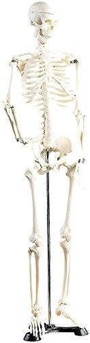 newgen medicals Skelett Modell: Original Lehrmittel Anatomie Skelett auf Ständer, 85 cm (Deko Skelett)