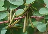 #8: Neelayamari(Indigofera tinctoria) Plant 25 seeds for Growing