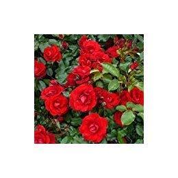ROSE RUBY WISHES- Il Geschenk für einen Rubin oder 40th Wedding AnniversarySEED ()