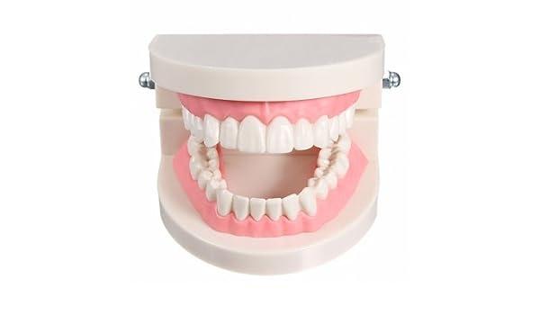Bheema 1 Pack Dental Dentist Teeth Tooth Teach Model Pink