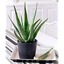 Creative Farmer Aloe Vera Less Care Air Purifying Office