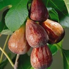 """Plante de jardin - Ficus carica """"Brown Turkey"""" - Figuier rustique, hauteur 50cm"""