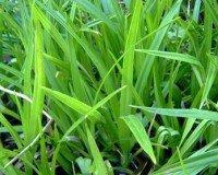 25 Filterpflanzen – Teichpflanzen - 2