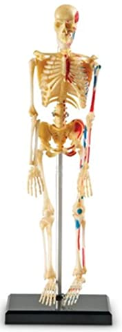 Learning Resources Human Skeleton Model