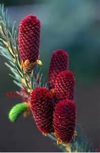 GEOPONICS 2: 50pcs / lot Kor Tanne, Abies Kora Samen Bonsai Blumensamen, Samen Samen, Samen für Heim & Garten 2
