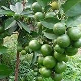 SelpLine - Desi Lemon Plant, Nimbu Desi Variety (1 Healthy Live Plant)