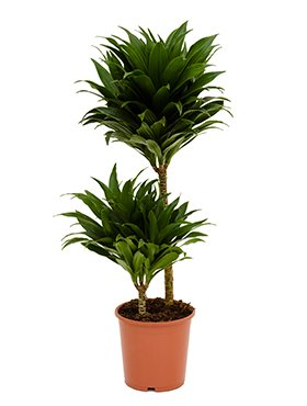 Drachenbaum, Dracaena compacta, ca. 80 cm, beliebte Zimmerpflanze, 19 cm Topf