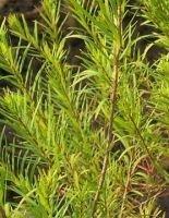 Seedeo  Australischer Teebaum ( Melaleuca alternifolia) 300 Samen