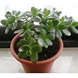 #5: OjOrey Jade Plant