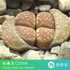 Go Garden 100% frais 50pcs réel lithops cactus succulent Semillas ~ Pierres vivantes (S1-24): Gris foncé