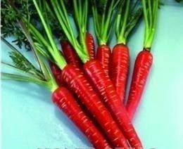 Just Seed Gemüse Karotte rot Samurai F1 100 Samen Wirtschaft Pack