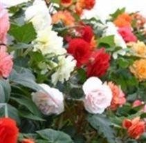 begonia-blackmore-langdons-double-mixed-10-seeds