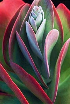 Keim Seeds: Kalanchoe thyrsiflora Exotic Xeriscaping Mesembs Succulents Seed Seeds