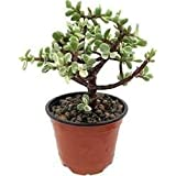 SELPLINE Indoor Crassula Good Luck Button Jade Plant with Plastic Pot (Lucky Plant Air Purifier)
