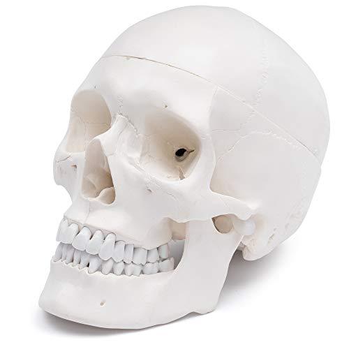 S24.2103 Schädel - Modell für Anatomieunterricht, 3-teilig
