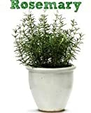 #7: Live Rosemary Mosquito repellent plant in pot