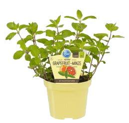 Bio Minze Grapefruit-Minze (Mentha suaveolens x piperita), Kräuter Pflanzen aus nachhaltigem Anbau, (1 Pflanze)