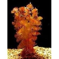 PREMIER PLANTS Red Cabomba (Cabomba Furcata) Live Aquarium Plants