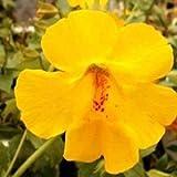vegherb Monkey Flower Funkeln gelbe Samen (Mimulus Hybridus F2) 400 + Seeds