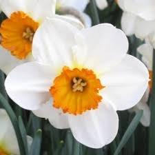 Idea Regalo - 50 pz bulbo bulbi narcisi bianco arancio barret browning narciso fiore vaso giardino primavera