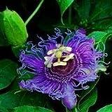 Shop Meeko Passiflora Purple Rain - Passiflora 3 s in 9cm Pots