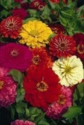 Fiore - Kings Semi - Confezione Multicolore - Zinnia Dalia Fioritura Mix