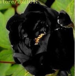 10 pcs / sac graines de pivoines Terrasse Cour Jardin Paeonia Suffruticosa Graines de fleurs vivaces plantes en pot pour le jardin de la maison 8