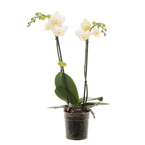 FloraStore - Phalaenopsis 2 branches Hikari (1x), Hauteur45 CM, Pot Ø 12 CM, Plante d'Intérieur