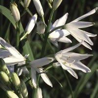 JustSeed Blume Traubige Graslilie 20 Samen Lily