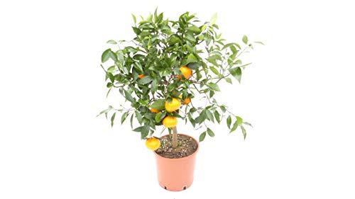 Citrus Reticulata Mandarinenbaum Mandarine Zitruspflanze