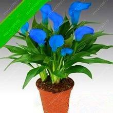 Vistaric veri bulbi di giglio di calla, bulbi di fiori bonsai zantedeschia aethiopica (non semi di calla) bulbius di vasi per piante da giardino 2 pz 19