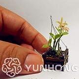 Bloom Green Co. Lot de 100 Mini orchidée bonsaï pour Maison Jardin Phalaenopsis...