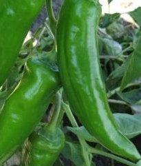 Anaheim Chili - rote Früchte - 50 Samen - Capsicum annum - mild mit aromareichen Geschmack !