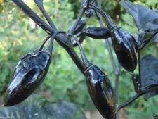 PLAT FIRM: 10 Pimenta da Neyde Pepper Samen (Capsicum chinense) extrem seltene, muss wachsen