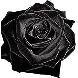 100 stücke Samen Regenbogen Rose m schwarz