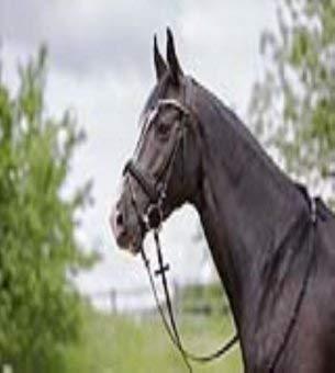 Kieffer Trensenzaum Stephanie II schwarz mit dunkelgrauem Keder Englisches Reithalfter Stirband mit Steinchen mit Chromschnallen , Größe Pferd:Warmblut