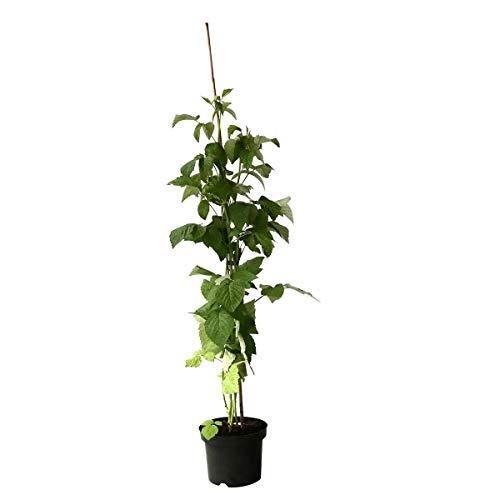 Müllers Grüner Garten Shop Himbo Top (R) sehr robuste herbsttragende Himbeere Himbeerpflanze ca. 60-100 cm groß im 3 Liter Topf