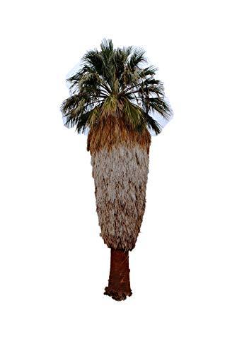 Washington Palme (Washingtonia filifera) 20 frische Samen (Winterharte Palme)