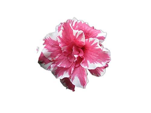 KINGDUO 10Pcs Adenium Obesum Samen Balkon Blumen Regenbogen Desert Rose Samen Desert Rose Set