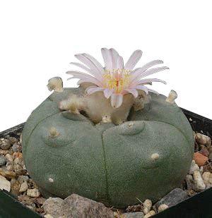 Kaktus -Lophophora williamsii- 50 Samen Frische Ernte, Peyote, Ariocarpus
