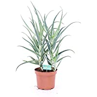 pianta di Aloe arborescens vera da esterno o interno v21