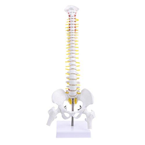 Keepart 45 Cm Anatomische Wirbelsäule Mit Becken Flexibles Modell Medizinische Lernhilfe-Anatomie