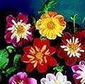 Dahlie, Dandy-Mischung, 100 Samen von Nuts n' Cones bei Du und dein Garten