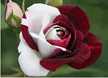 Pots de fleurs jardinières, 20 sortes de 100 graines, Rainbow Rose graines belle rose graines bonsaïs graines pour la maison et le jardin 7