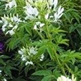 Cleome - Helen Campbell - 100 Seeds