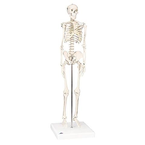 3B Scientific Menschliche Anatomie - Mini-Skelettmodell auf