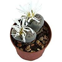 PIANTE GRASSE VERE RARE N.1 Lithops Sassi Viventi vaso 6,5 coltivazione Produzione Viggiano Cactus Pianta roccia Succulente